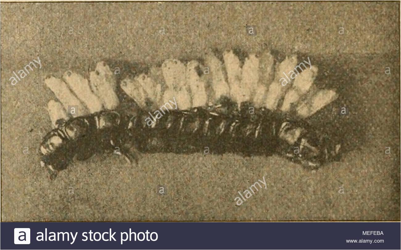 forstinsekten mitteleuropas ein lehr und handbuch a b abb 33 calosoma inquisitor l kleiner kletterlaufkfer a imago original b larve von schlupfwespen befallen nach holste nicht mehr sie bleiben den ganzen winter ber im boden um erst im nchsten frhjahr aus ihm herauszukommen da inquisitot lzxg von parasiten befallen wird lehrt eine beob achtung hol st es der aus einer larve eine schlupfwespe phaenoserphus pfoctoirupes viator hai in anzahl gezogen hat abb 33 b forstliche bedeutung des kleinen kletterlaufkfers ist nicht so hoch anzuschlagen wie MEFEBA