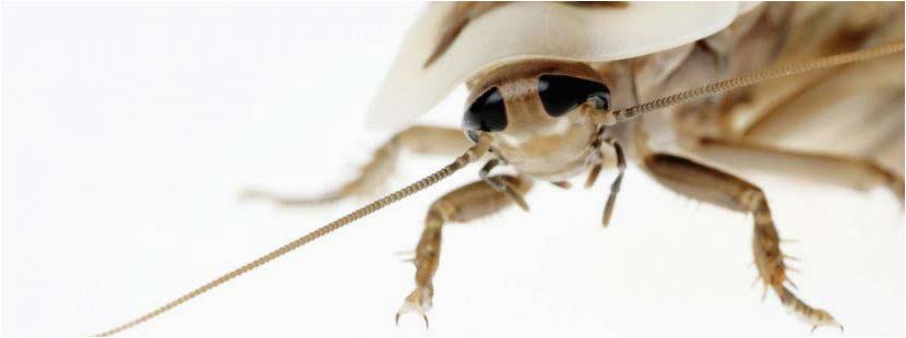 Kakerlaken bekaempfen Adobe Stock c Holger