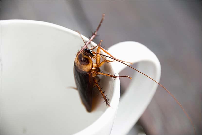 Kleine Fliegen Im Küchenschrank Kakerlake Gefunden so Wirst Du Küchenschaben Los