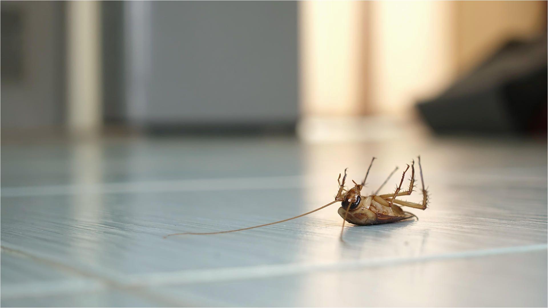 Naketano Auf Dem Küchentisch song Kakerlaken Bekämpfen Tipps Gegen Schaben In Haus Wohnung