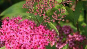 Blühende Pflanzen Für Japanischen Garten Pflegeleichte Hecke Garten