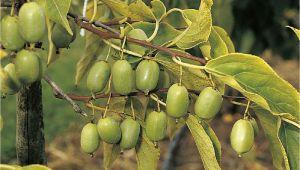 Kiwi Im Garten Erfahrungen Actinidia Arguta issai