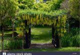 Klettern Im Garten Preise Gelben Goldregen Blumen Blumen Blütentrauben Decken