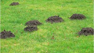 Maulwurf Im Garten Gut Oder Schlecht Maulwurf so Vertreiben Sie Tiere Aus Dem Garten
