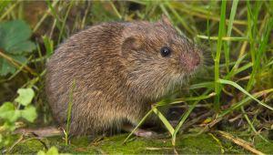 Mäuse Im Garten Natürlich Bekämpfen so Vertreiben Sie Wühlmäuse Aus Ihrem Garten