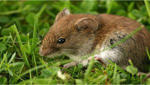 Mäuse Im Garten Vertreiben Mäuse Im Garten Vertreiben I Ratgeber & Tipps