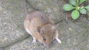 Mäuseplage Im Garten Bekämpfen Mäuseplage Im Garten Genial Beste Mäuseplage Im Garten