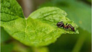 Mittel Gegen Fliegende Ameisen Im Rasen Ameisen Im Garten Gefahr Für Rasen Und Beete Ameisen