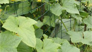 Pflege Eisenmöbel Garten Gurken Anbauen Aussaat & Pflege Im Garten Majas