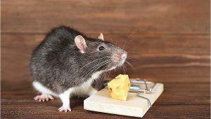 Ratten Im Garten Meldepflicht Hessen 20 Lovely Ratten Im Garten Erkennen Concept Jamesbechler
