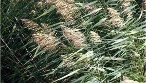 Schilf Aus Garten Entfernen Schilf Als Sichtschutz A so Pflanzen Und Pflegen Sie Die