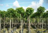 Schöne Große Bäume Für Den Garten Baumschule Pflanzen Große Pflanzen Und Bäume