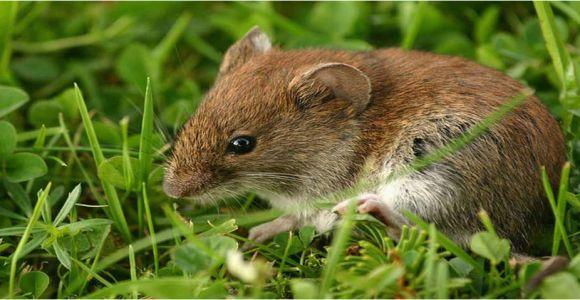 Wie Kann Man Mäuse Im Garten Vertreiben Mäuse Im Garten Vertreiben I Ratgeber & Tipps