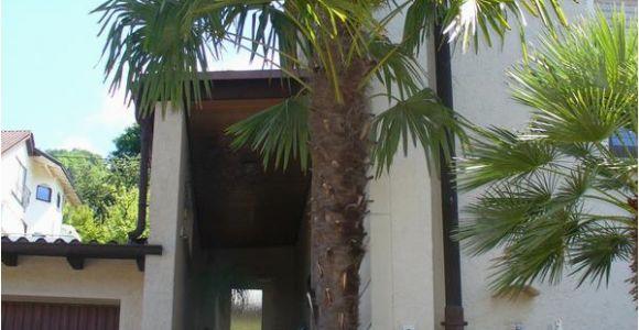 Winterharte Palmen Für Den Garten 6 Winterharte Palmen sonstiges Für Den Garten Balkon