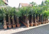 Winterharte Palmen Für Den Garten Palmenlager Pflanzenversand & Lagerverkauf
