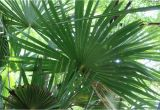Winterharte Palmen Für Den Garten Winterharte Palmen 7 Arten Für Den Garten Bis Zu 25°c