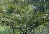 Winterharte Palmen Für Den Garten Winterharte Palmen Für Den Garten Kaufen