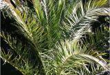Winterharte Palmen Für Den Garten Winterharte Palmen Im Garten Pflanzen Pflanzenfreunde