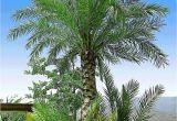 Winterharte Palmen Für Den Garten Winterharte Palmen sortiment Zum Vorteilspreis 2 Pflanzen