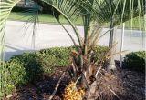 Winterharte Palmen Garten 5 Winterharte Palmen Für Nachhaltiges Gartengrün Fresh