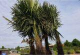 Winterharte Palmen Garten Winterharte Palmen Kaufen Winterharte Palmen Für Garten